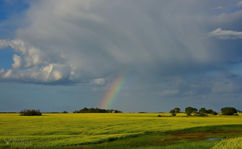 photo of canola and rainbow in Brandon Manitoba