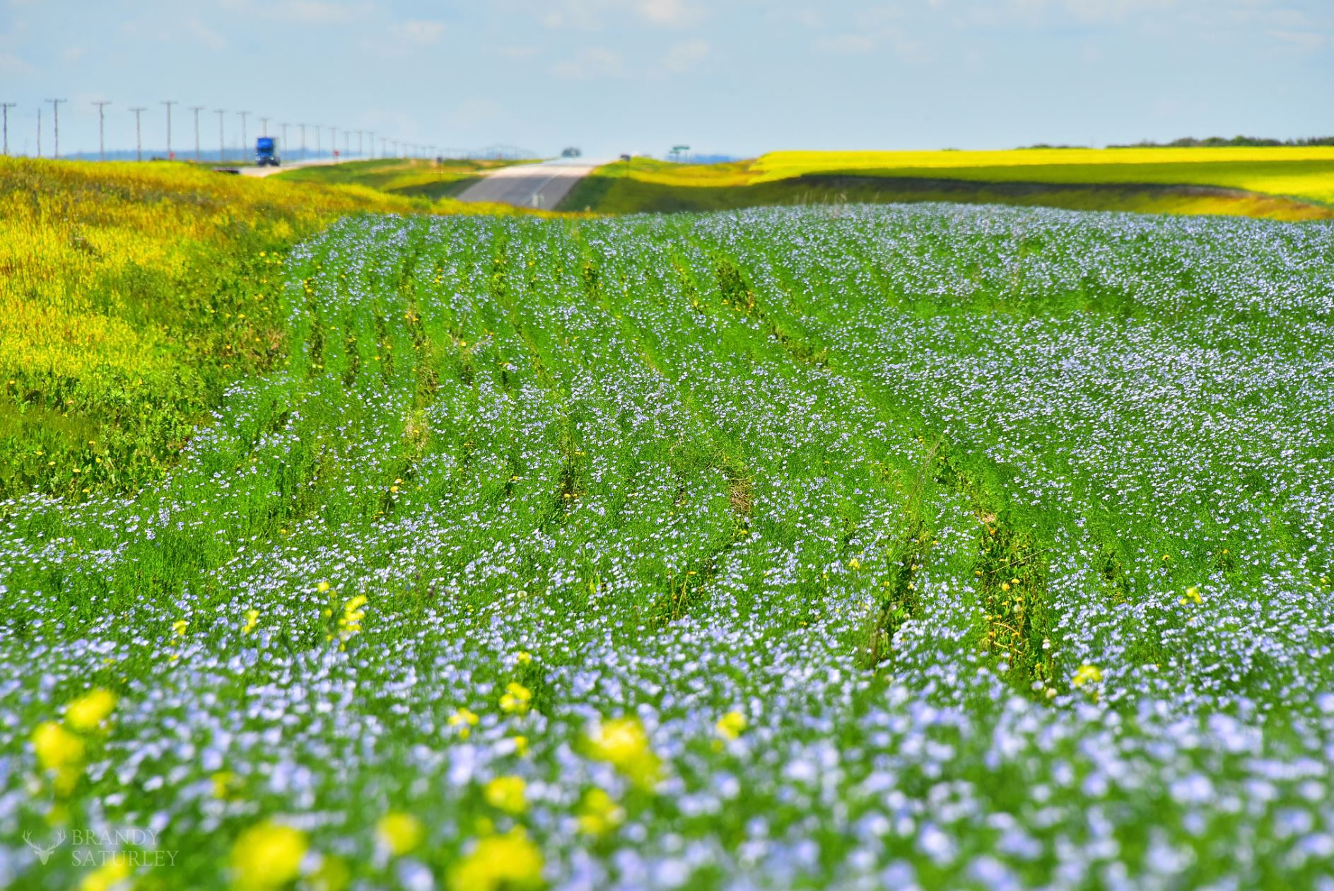 Saskatchewan roadside fields of flax blue and canola yellow