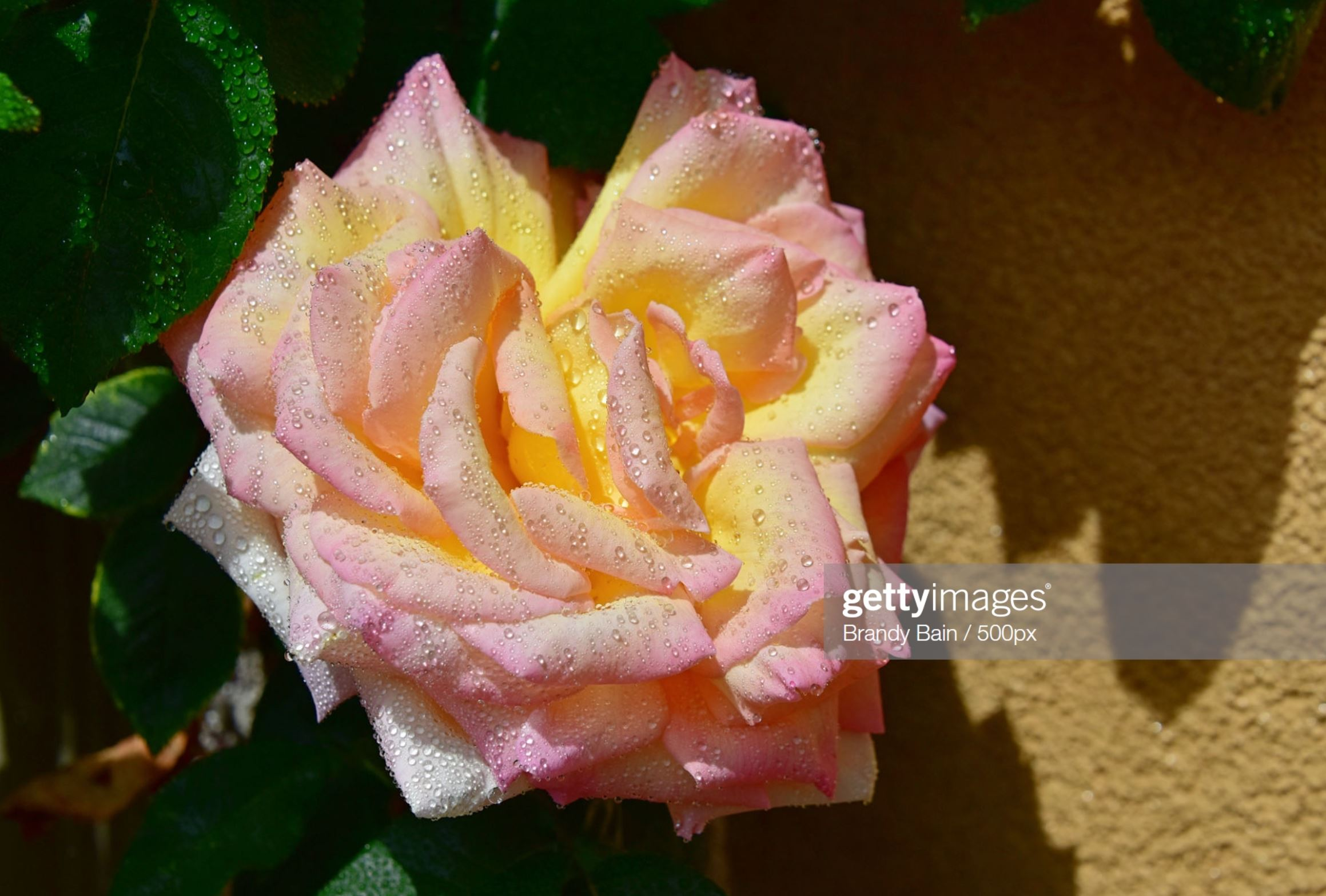 rose photo on Getty Images by Brandy Saturley Bain