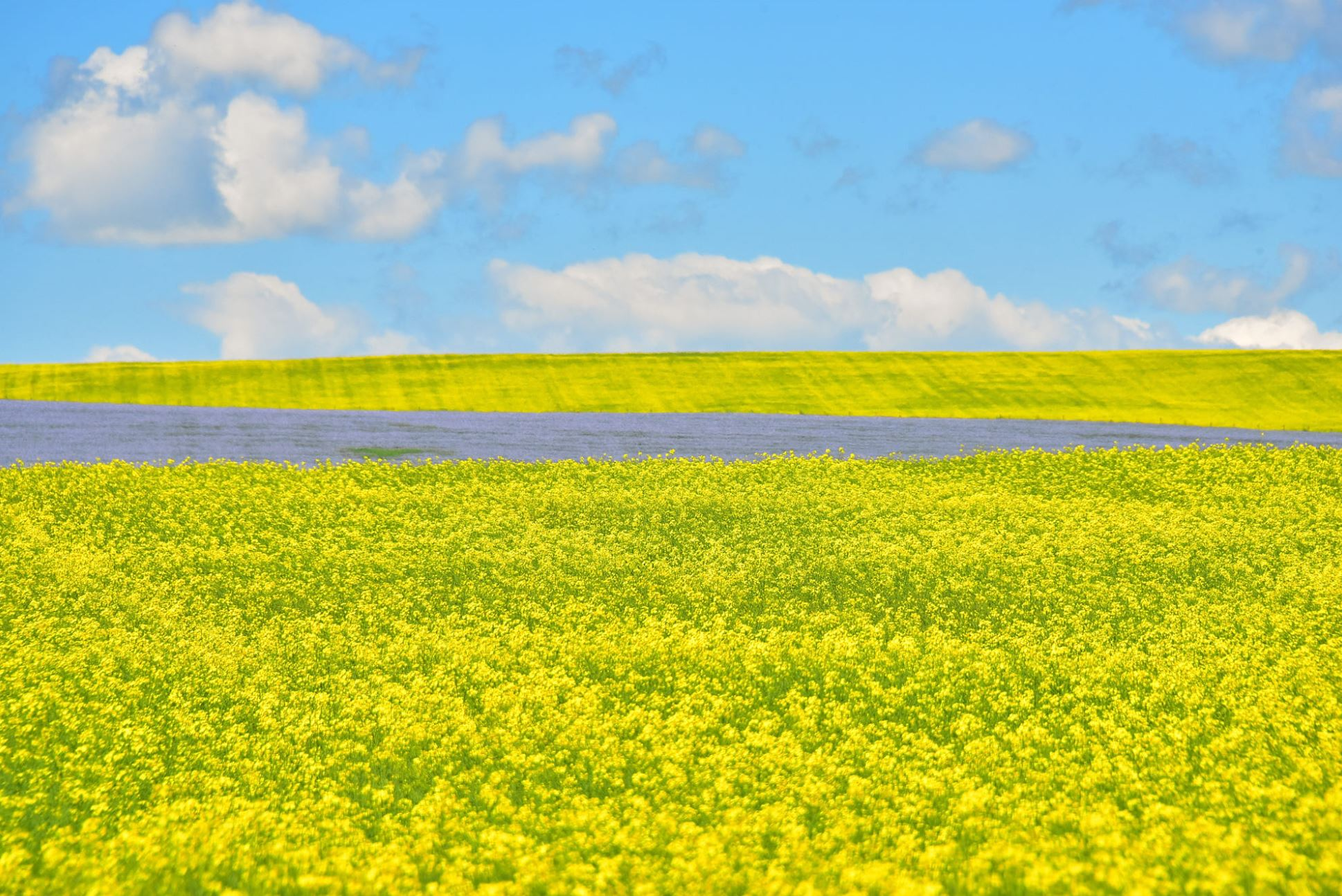 flax and canola fields